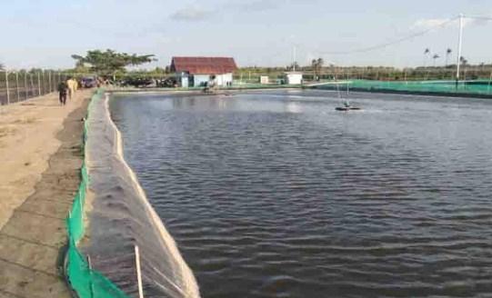 Kabupaten Luwu Potensi untuk Pengembang Budidaya Udang